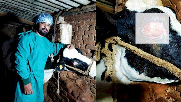 वेटरनरी सर्जन की टीम के द्वारा होल्सटीन फ्रीसीएन नस्ल की गाय के आंख से निकाला ट्यूमर